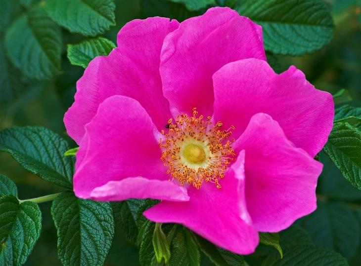 Hooponopono Wild Irish Rose